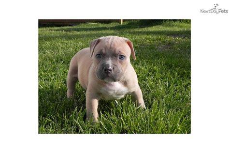 pitbull puppies for sale in kansas city american pit bull terrier for sale for 1 500 near kansas city missouri 3e6dae47 38e1