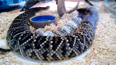 When Does A Snake Shed His Skin by Eastern Diamondback Rattlesnake Shedding Skin