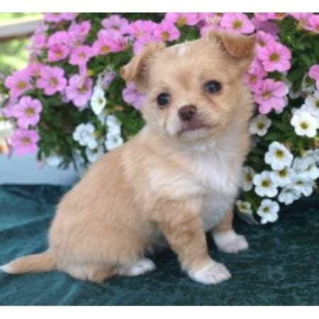 free chihuahua puppies in indiana sungold chihuahuas chihuahua breeder in osceola indiana listing id 13963