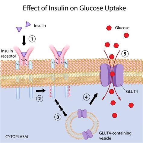 insulin diagram insulin s in the human