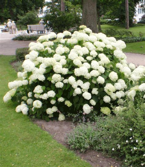 Schneeball Garten by Schneeball Hortensie Annabelle Hortensien Bei Baldur Garten