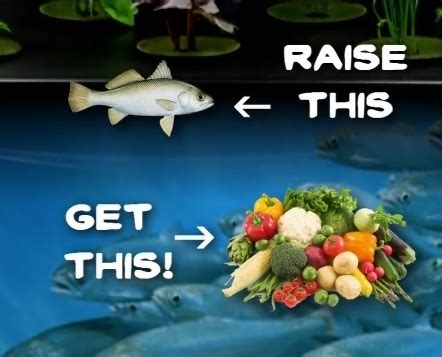 how to raise tilapia in the backyard today aqua aquaponics fish eating
