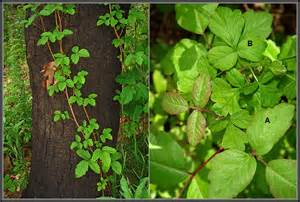 what does poison oak look like what does it look like