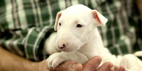 is 12 weeks to get a puppy which breed the bull terrier
