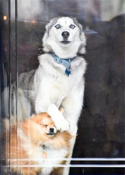 pomeranian diet to lose weight 17 best images about huskies my babies on different colored