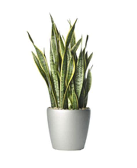 best plants for desk top 10 best plants for your desk at work ambius uk