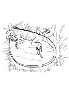 baby iguana coloring page 301 moved permanently