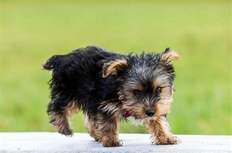 yorkie lifespan teacup yorkie miniature terrier lifespan photo