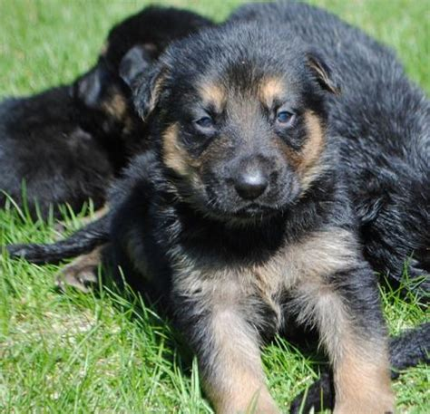 puppy finder nh german shepherds for sale puppies for sale
