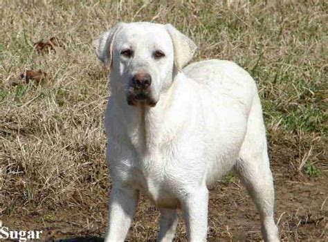 white labrador retriever puppies white labrador retriever puppies for sale available white lab puppy