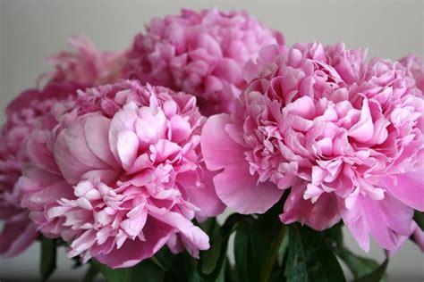 significato dei fiori peonia peonia significato fiori caratteristiche della peonia