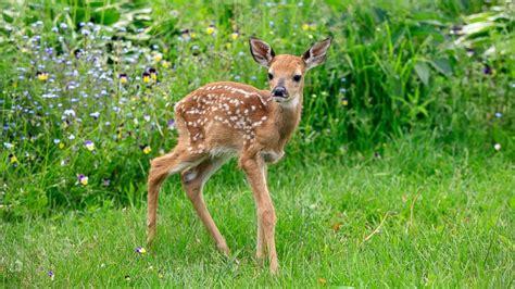 of saving baby deer baby deer being tickled abc news
