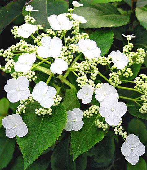 immergrüne kletterpflanze winterhart winterharte kletterpflanzen kollekt kletterpflanzen bei