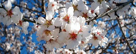 mandorli in fiore programma sagra mandorlo in fiore 2015 quot