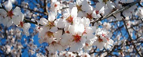 festa mandorlo in fiore programma sagra mandorlo in fiore 2015 quot