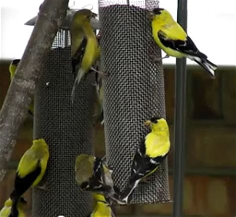 wild birds unlimited where to hang finch feeders