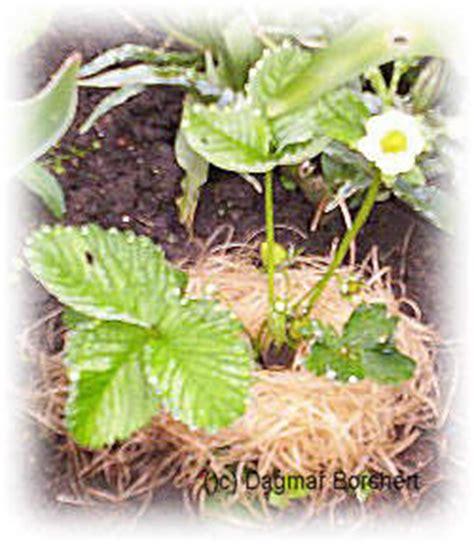 wann pflanze ich erdbeeren mein kleiner schoener garten beeren