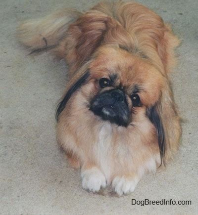 pekingese puppies pekingese breed information and pictures