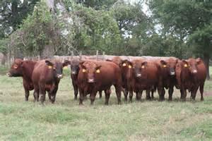 Search black angus bulls for sale texas myideasbedroom com