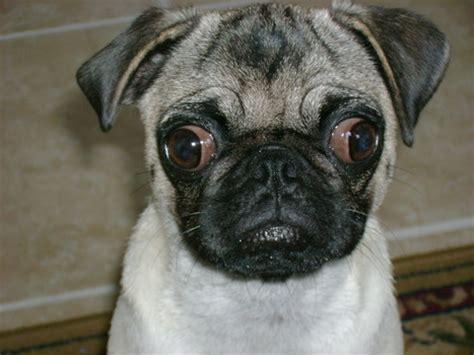 pug eye i ve got my on you