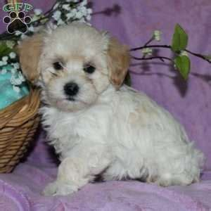maltipoo puppies for sale in md maltipoo puppies for sale maltipoo breed profile greenfield puppies