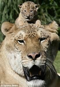 Easy liger hercules at 64 stone dwarfs trainer moksha bybee as she