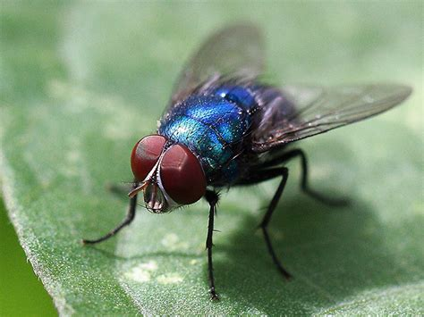 Blus Fly by Blue Fly Animal Insect Photos Charda S Photoblog