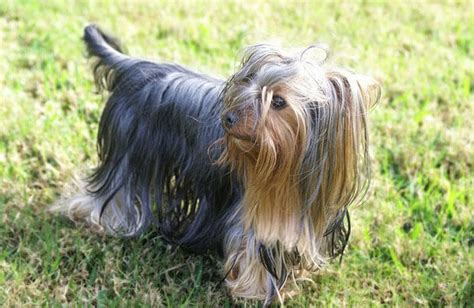 yorkie blue and terrier breed 187 information pictures more