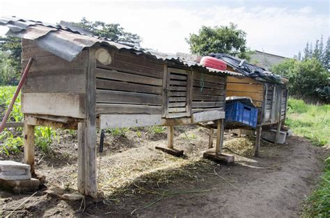 backyard hog raising 100 backyard pig raising what do pot bellied pigs