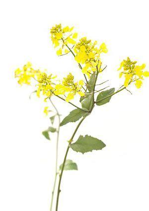 fiori di bach per depressione e ansia mustard fiori di bach essenziale la depressione