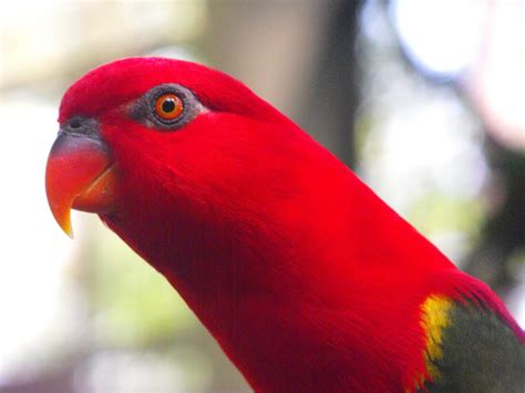 panoramio photo of red lory kl bird park malaysia