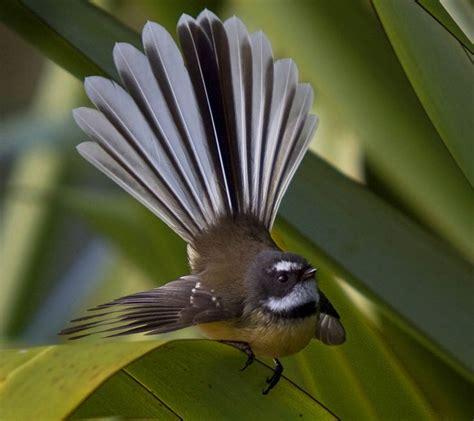 fantail bird new zealand kiwi land new