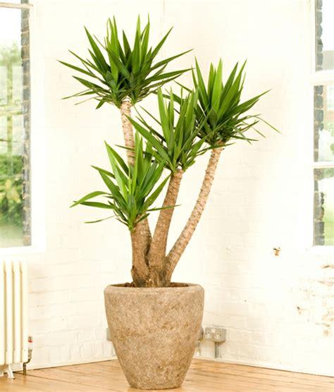 yucca palme schlafzimmer pflegeleichte zimmerpflanzen 18 vorschl 228 ge