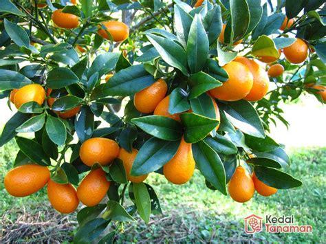 jual tanaman buah jeruk nagami kumquat  lapak