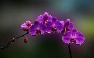 Orchid Flowers Flowers Orchids Wallpaper 832047
