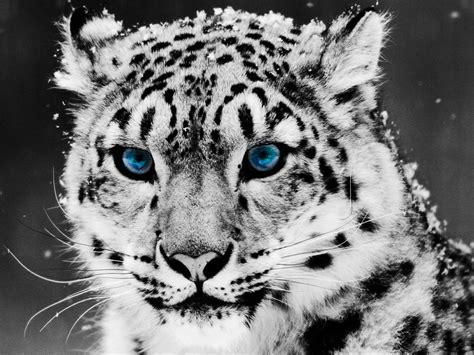 imagenes de jaguar blanco endangered animals animal heart
