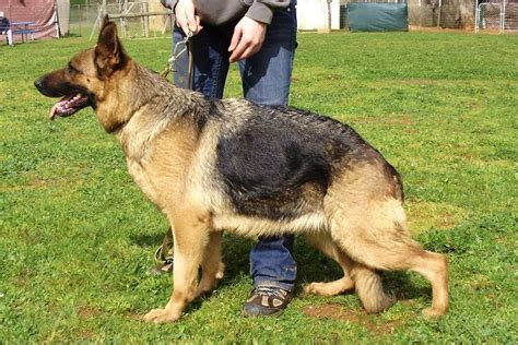 where can i find free puppies where can i find german shepherd puppies for sale photo