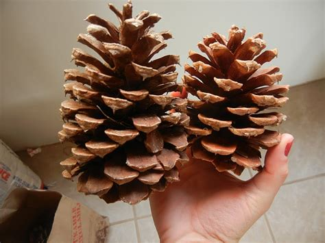 buying pine cones dotal anecdotes as a scented pine cones for