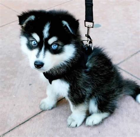 baby husky puppies adorable amazing animal aw babies baby beautiful adorable animals