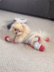 pomeranian clothing the 25 best pomeranian dogs ideas on pomeranian pomeranian puppy and