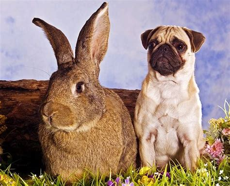 pug bunny 65 best easter pugs images on pugs happy easter and easter bunny