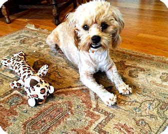 shih tzu seattle seattle wa shih tzu cockapoo mix meet bailey a for adoption