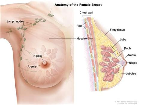 breast diagram drawing drawing of breast anatomy showing the lymph nodes