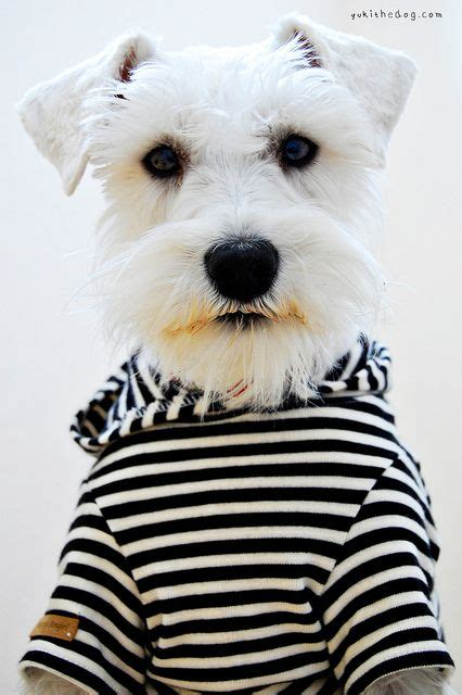 Benjour Sweater White Dogy Babyterry 1000 images about i my mini schnauzer on terry o quinn pets and puppys