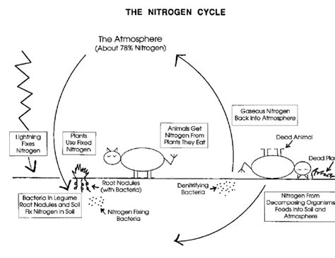 diagram of nitrogen cycle image002 png