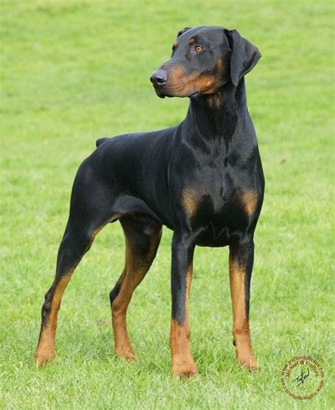 his name was my with a remarkable doberman pinscher books best 25 doberman ideas on doberman pinscher