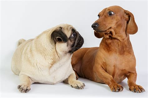 pug doxie picture pug dachshund dogs two animals