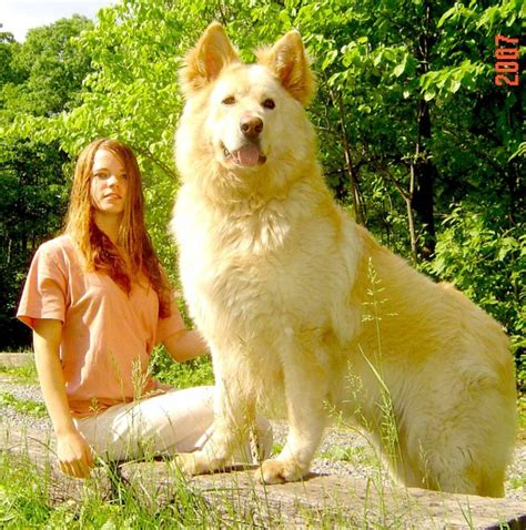 largest breed of what is the breed dimensions info