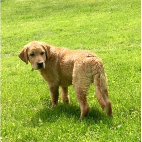 labrador puppies pa labrador retriever lab breeders in pennsylvania page 1 freedoglistings