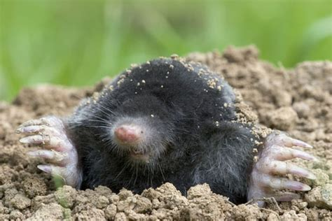 what does a mole look like ground mole identification
